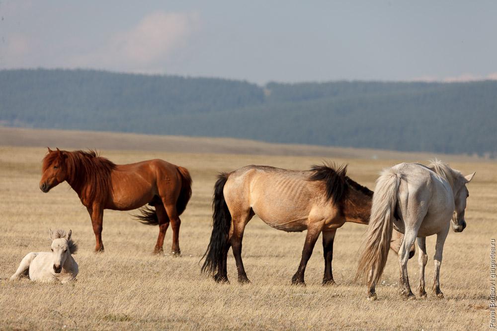 лошади на берегу озера Хубсугул