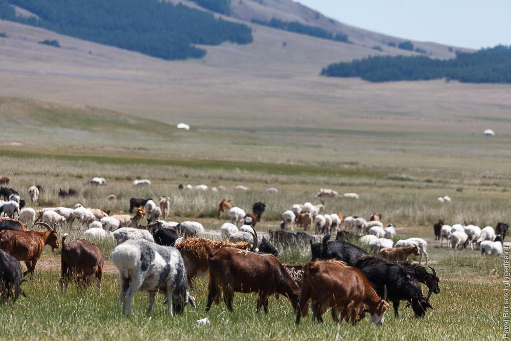 козы в Монголии