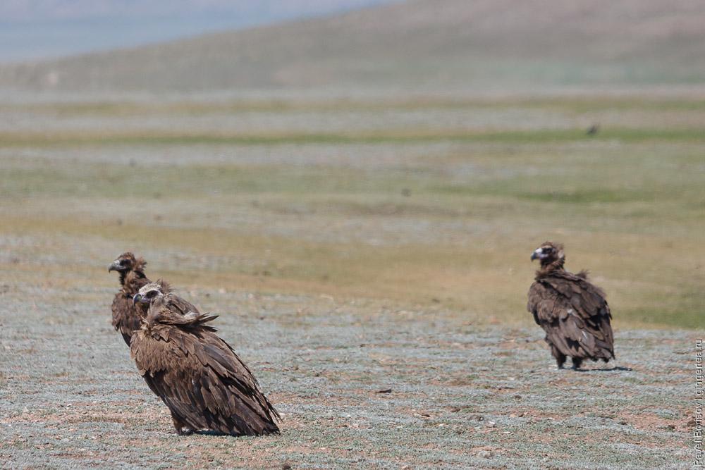 гриф в Монголии