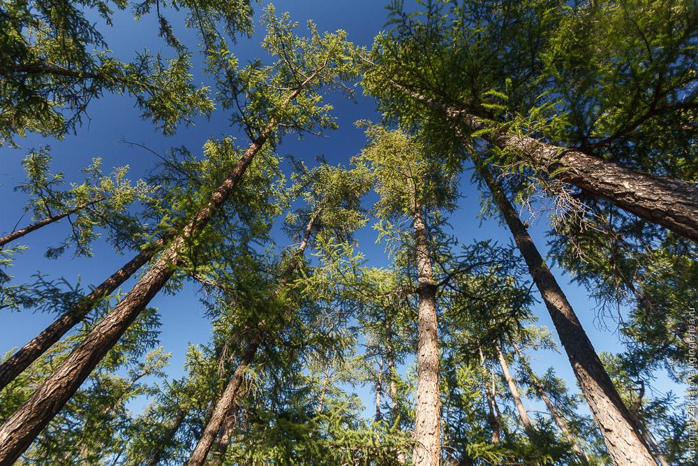 лес в Монголии