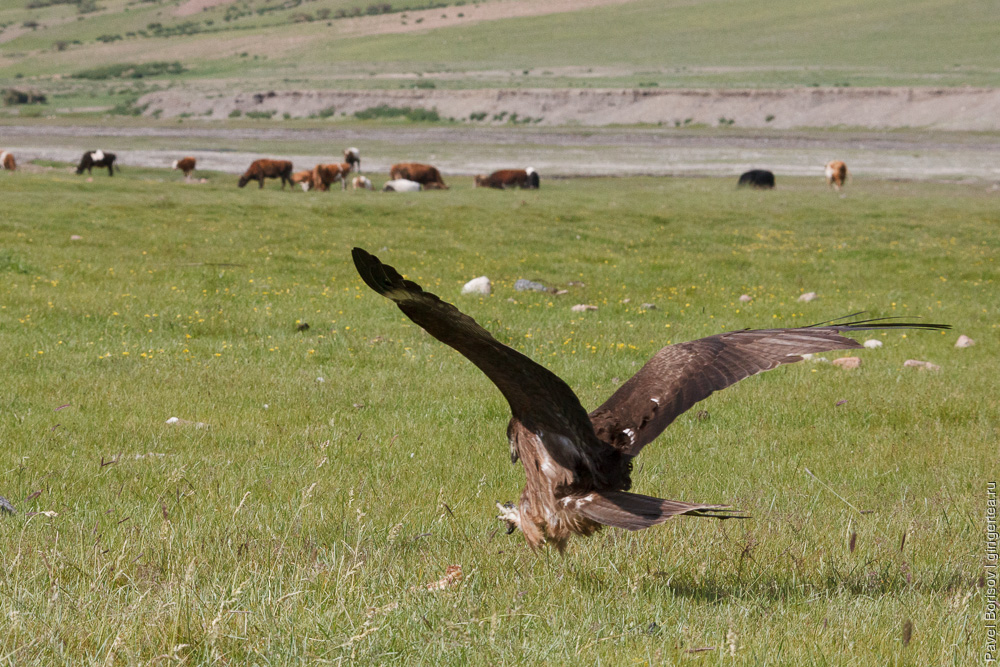 беркут в Монголии