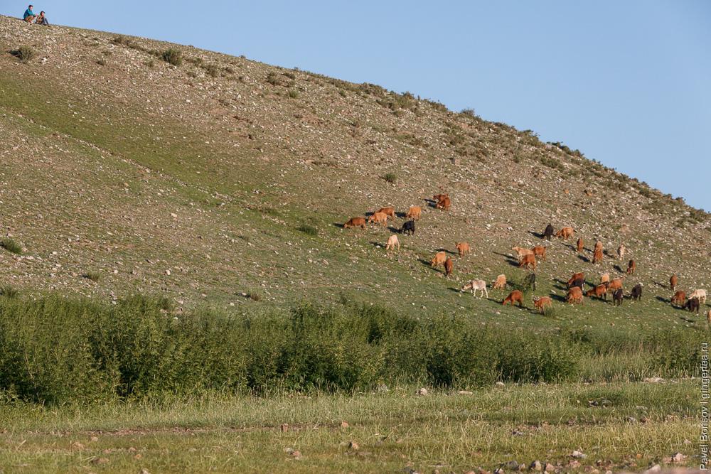 коровы в Монголии