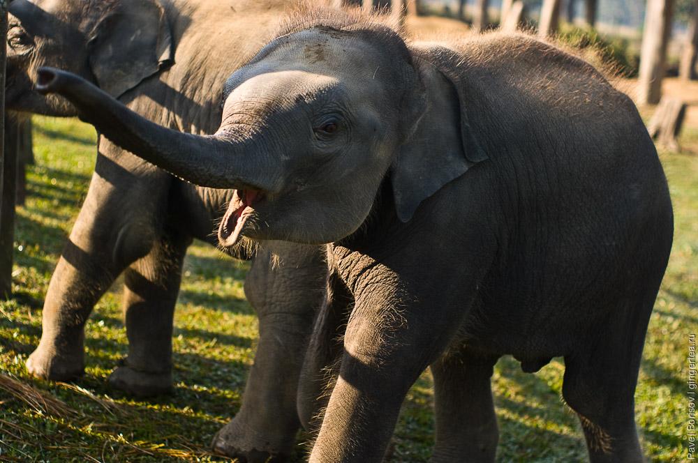 Слонята. Непал