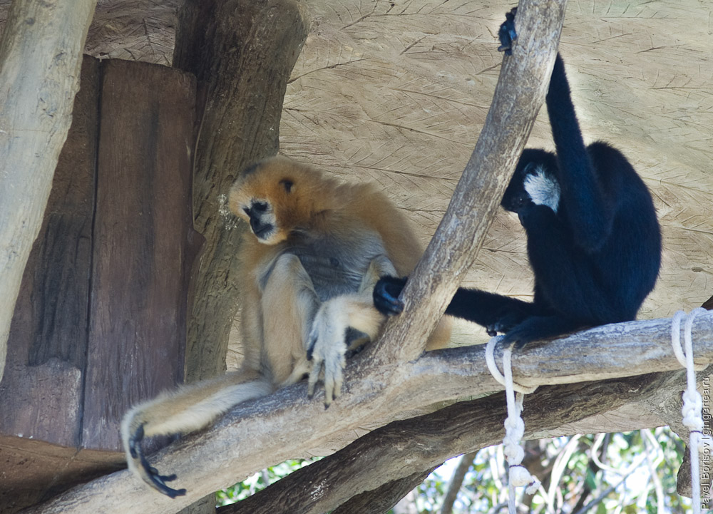 белорукий гиббон, white-handed gibbon, быстрый гиббон, agile gibbon