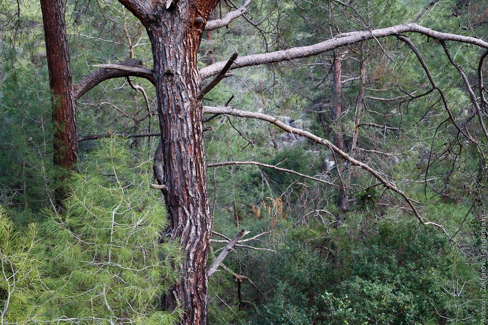сосновый лес рядом с Фетхие