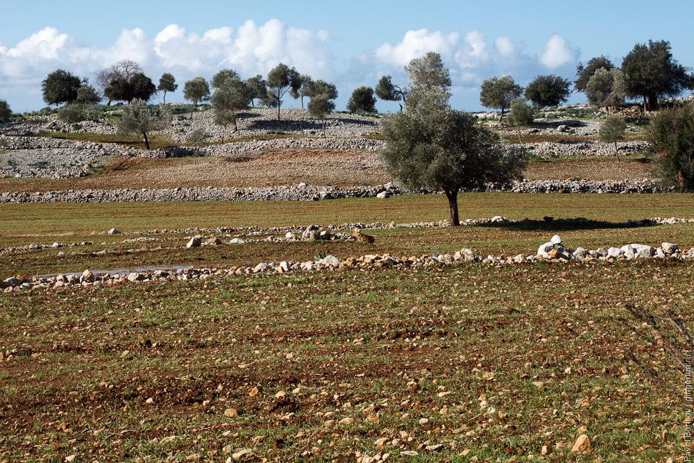 оливковое дерево на поле в Турции